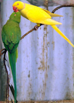 Indian ringnecks